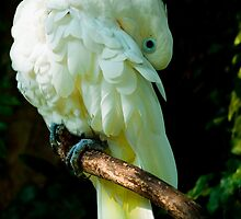Sulphur Crested Cockatoo ! by neneaniket