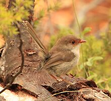 Female Fairy Wren by Michelle Munday