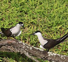 Bridled tern (Onychoprion anaethetus) by Peregrinate