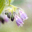 Purple Bells ... Comfrey Herb Flowers by StarFlowerSt