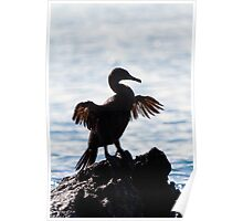 Flightless Cormorant drying wings, Isabela Island, Galapagos Poster
