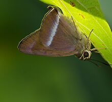Common Banded Awl by OmkarSankpal