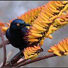 Glossy starling by Greg Parfitt