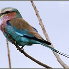Lilac breasted roller,  by Greg Parfitt