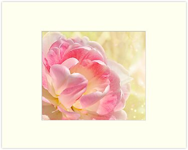 Pink and White Tulip by Elaine  Manley