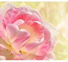 Pink and White Tulip Photographic Print