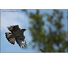 Falcon in flight Photographic Print