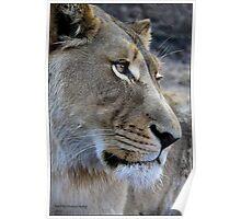 Lion glance! Poster