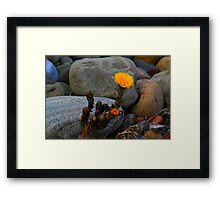 Coltsfoot in situ( Tussilago Farfara) First of the year, by the River Tees. Framed Print