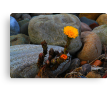 Coltsfoot in situ( Tussilago Farfara) First of the year, by the River Tees. Canvas Print