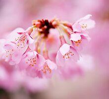 Cherry Blossom Beauty  by Noleen  Kavanagh
