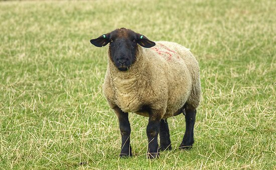 A Sheep by VoluntaryRanger