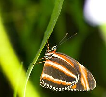 Banded Orange Heliconian by Alan Hough