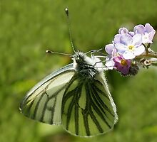 Green Veined White  butterfly by Rivendell7