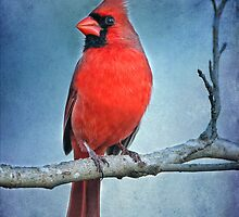 Northern Cardinal in Winter by Bonnie T.  Barry
