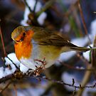 Cheeky Robin 2 by TREVOR34