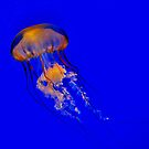 Pacific Sea Nettle  by Kathy Baccari