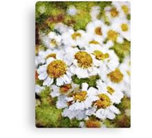 White Daisy's in the summer sun  Canvas Print
