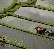 Farmer plowing with oxen-3 by Michael Brewer