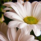 White Chrysanthemum flower  by Vicki Field