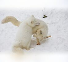 Winter in Canada true the eyes of the Polar Fox by John44