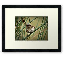 A Little Grassbird Framed Print