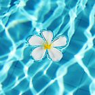 Frangipani flower in the swimming pool by Nasko .