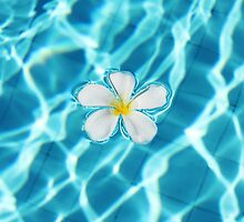 Frangipani flower in the swimming pool by Digital Editor .