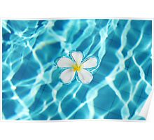 Frangipani flower in the swimming pool Poster