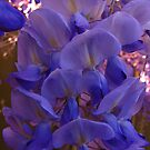 Wisteria by Geoffrey Higges