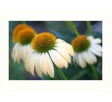 Beautiful Coneflowers Art Print