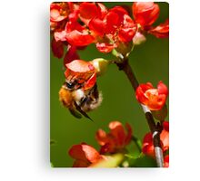 Bumblebee on red blossoms Canvas Print