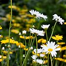 To be in a field of daisies... by AudraJS