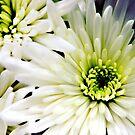 White Chrysanthemum flowers by Vicki Field