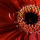 Red Gerbera flower macro by Vicki Field