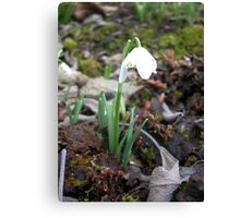a single snowdrop among dead leaves Canvas Print