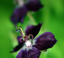 Purple Geranium Phaeum flower  by Vicki Field