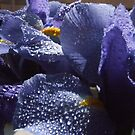 Blue Irises by Cahl Schroedl