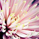 Pink Chrysanthemum flower  by Vicki Field