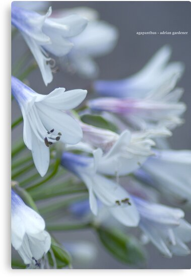 Agapanthus by garts