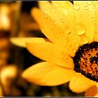 Yellow daisy by Greg Parfitt