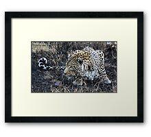 Stalking leopard! Framed Print