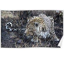 Stalking leopard! Poster