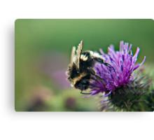 Scruffy Old Bumble Bee macro Canvas Print