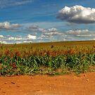 Sorghum Crop by GailD
