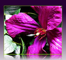 Purple Clematis Macro by BlueMoonRose