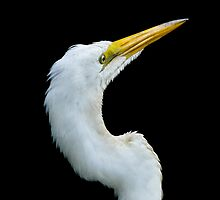 Great White Egret On Alert by Joe Jennelle