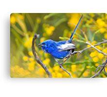 White wing fairy Wren, Burns beach, Western Australia Canvas Print
