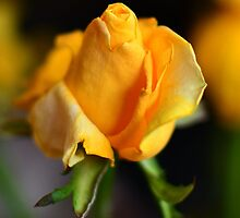 Yellow Rose of San Remo by Robyn Forbes