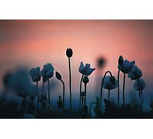 poppies at dawn Photographic Print